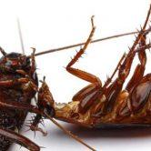 come eliminare blatte scarafaggi casa guida disinfestazione