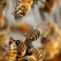 api-paladine-biodiversita-come-riconoscere-varie-specie