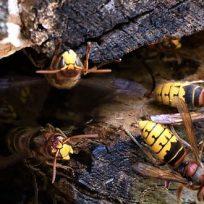 calabroni-come-riconoscerli-capire-sono-pericolosi-uomo