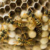 tipi-vespe-come-riconoscere-specie-nidi