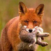 volpi-come-allontanarle-giardino-difendere-pollaio