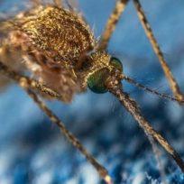 zanzare-portatrici-malattie-quali-sono-rischi-salute